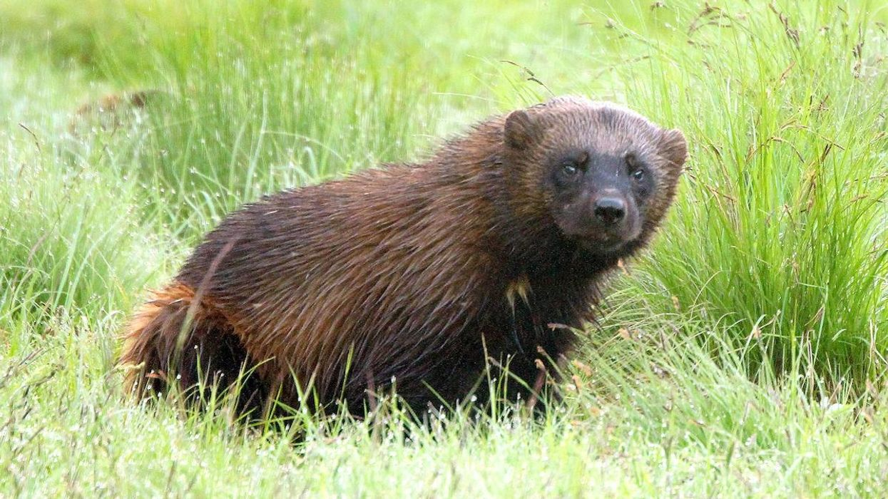 Wolverine Caught on Yellowstone Trail Cam for First Time