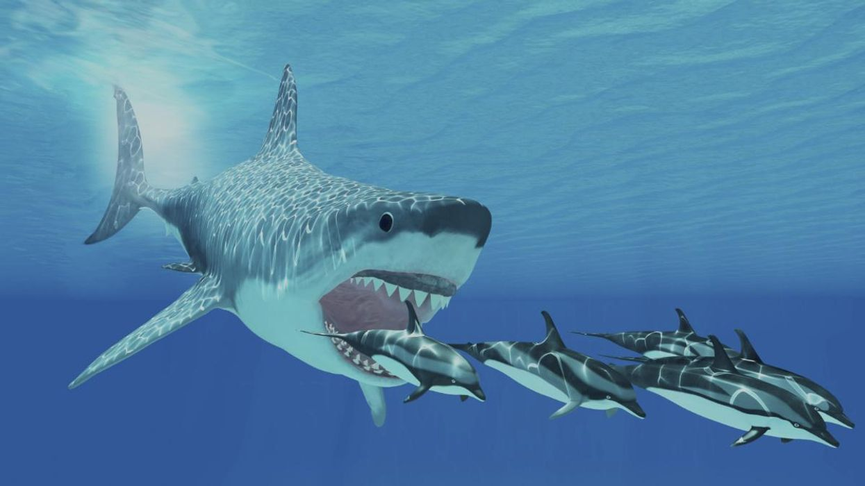 Baby Megalodon Sharks Were Six-Foot-Long Cannibals, Study Finds