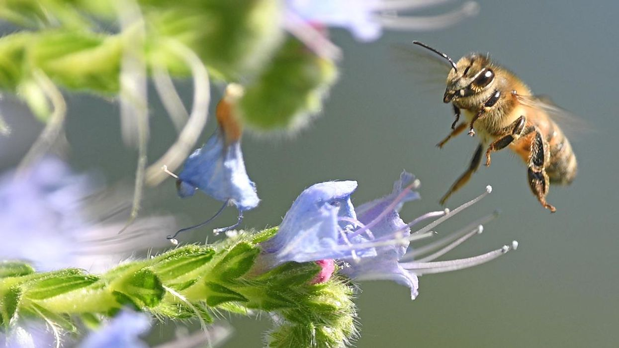 UK Allows Emergency Use of Bee-Killing Pesticide