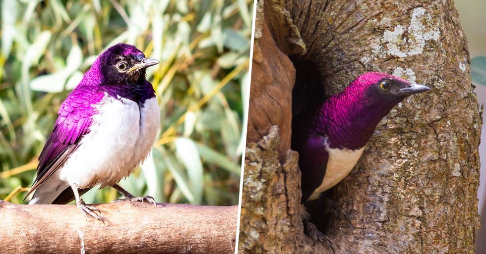 The Violet-Backed Starling Looks Just Like a Stunning, Flying Gemstone