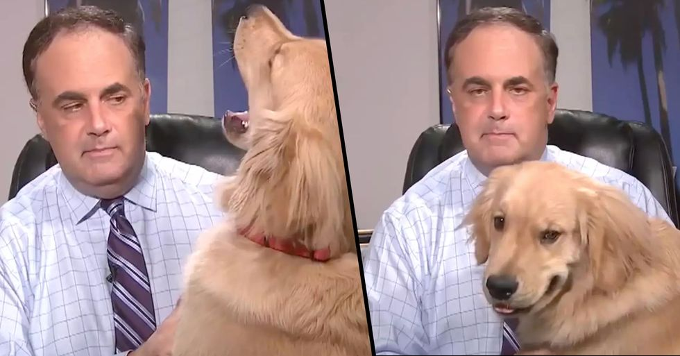 Golden Retriever Hilariously Interrupts Weatherman's Live Forecast