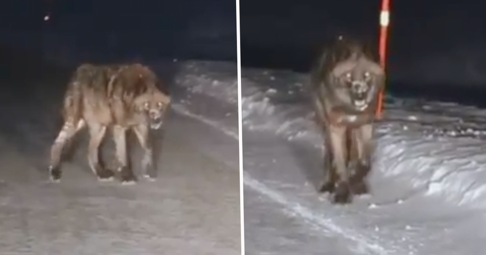 Someone Thinks They've Captured a Real Werewolf on Camera at Yellowstone National Park