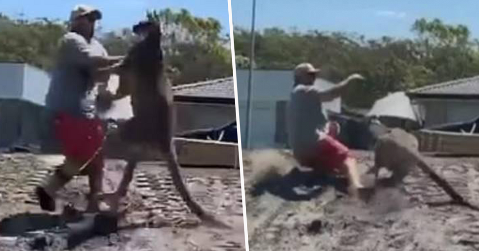 Dad Gets Floored By Kangaroo While Trying to Defend His Kids