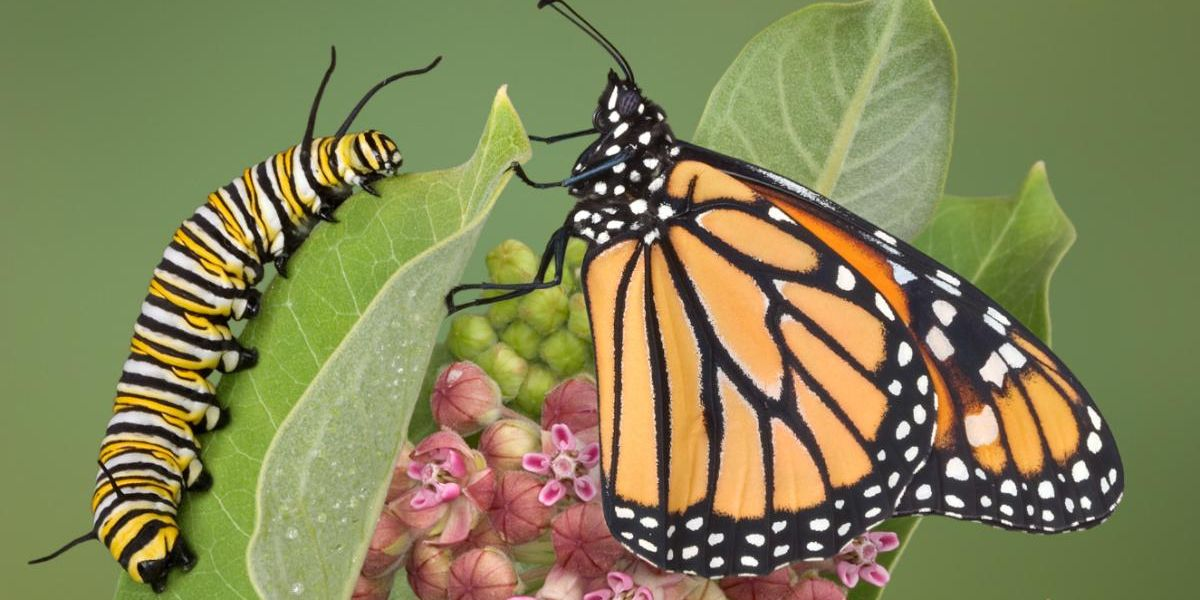 New Clues Help Monarch Butterfly Conservation Efforts