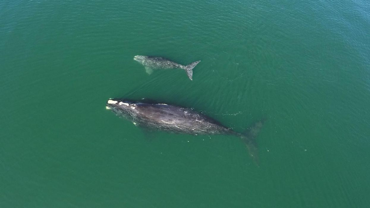 14 Endangered North Atlantic Right Whale Calves Spotted This Season