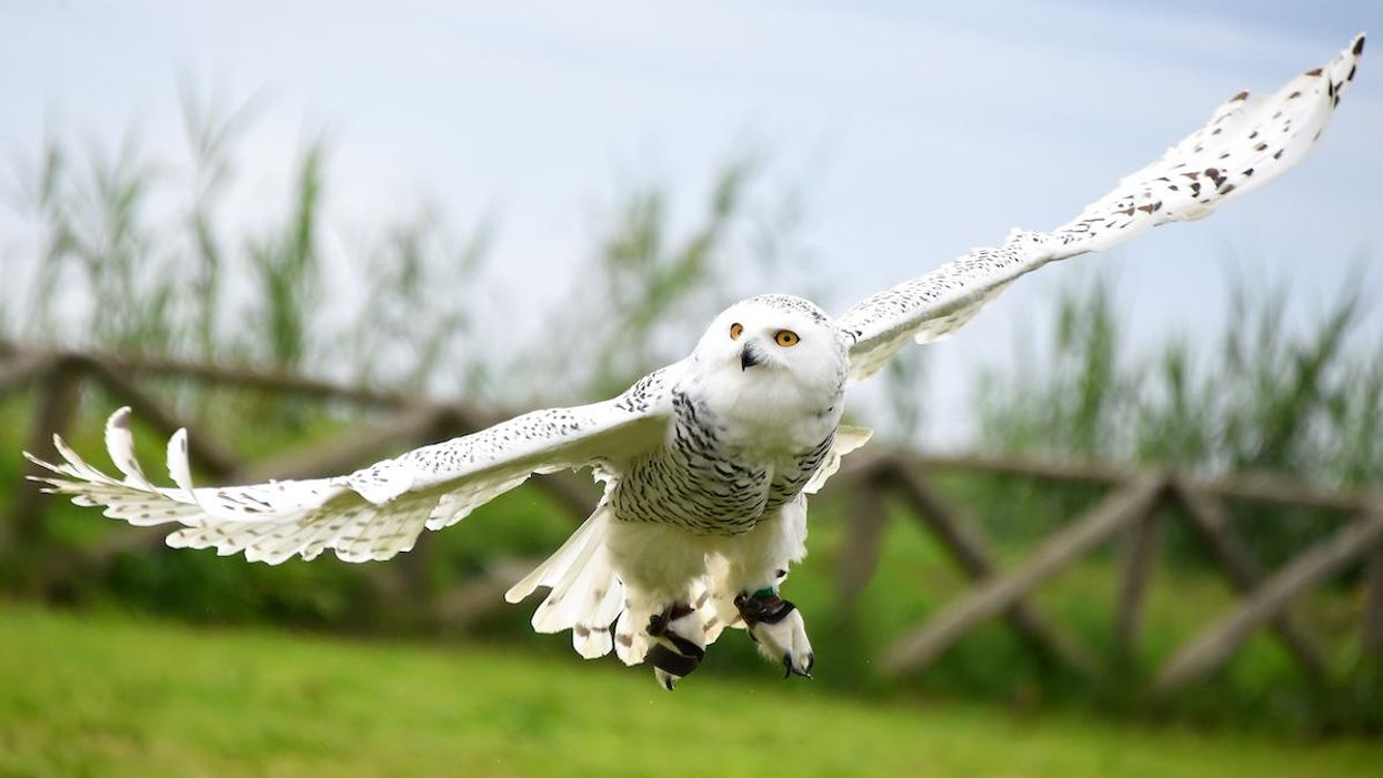 Snowy Owl Spotted in New York's Central Park for First Time in 130 Years