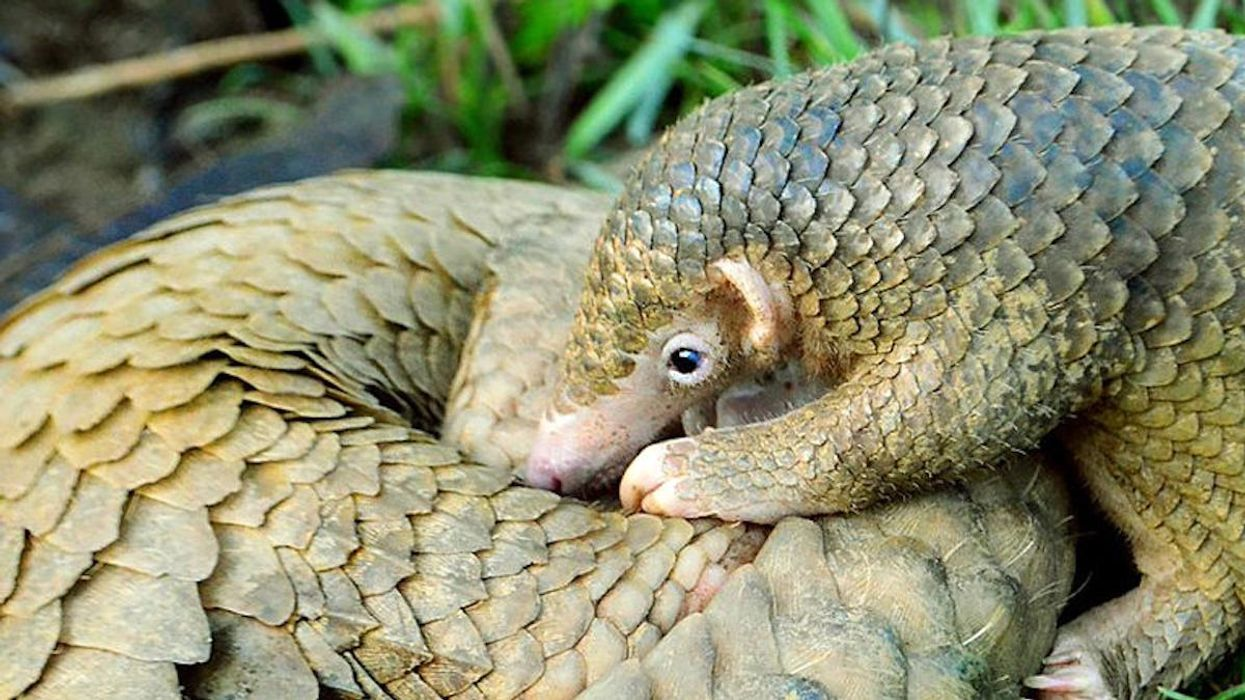 Philippine Pangolins Can Still Be Saved, Study Finds