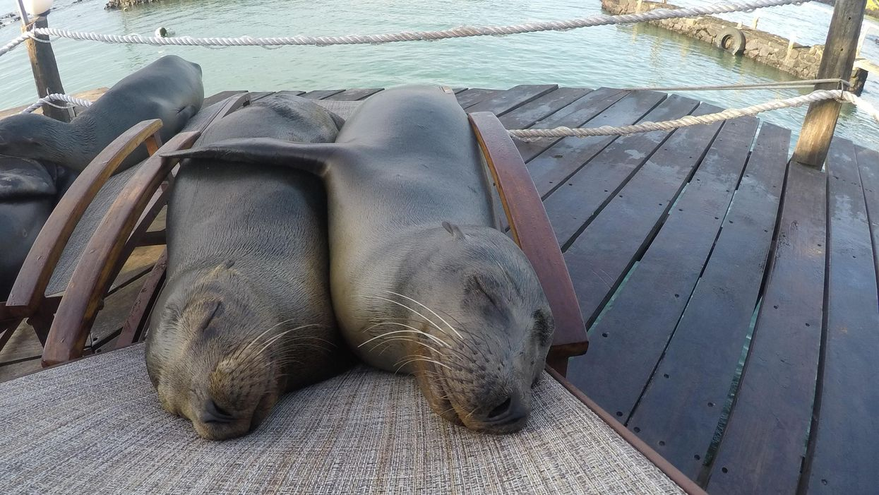 Two seals relaxing on a beach chair demonstrating the art of rest