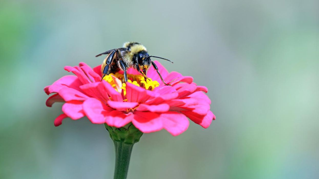 Biden Urged to Help Save American Bumblebees From Extinction