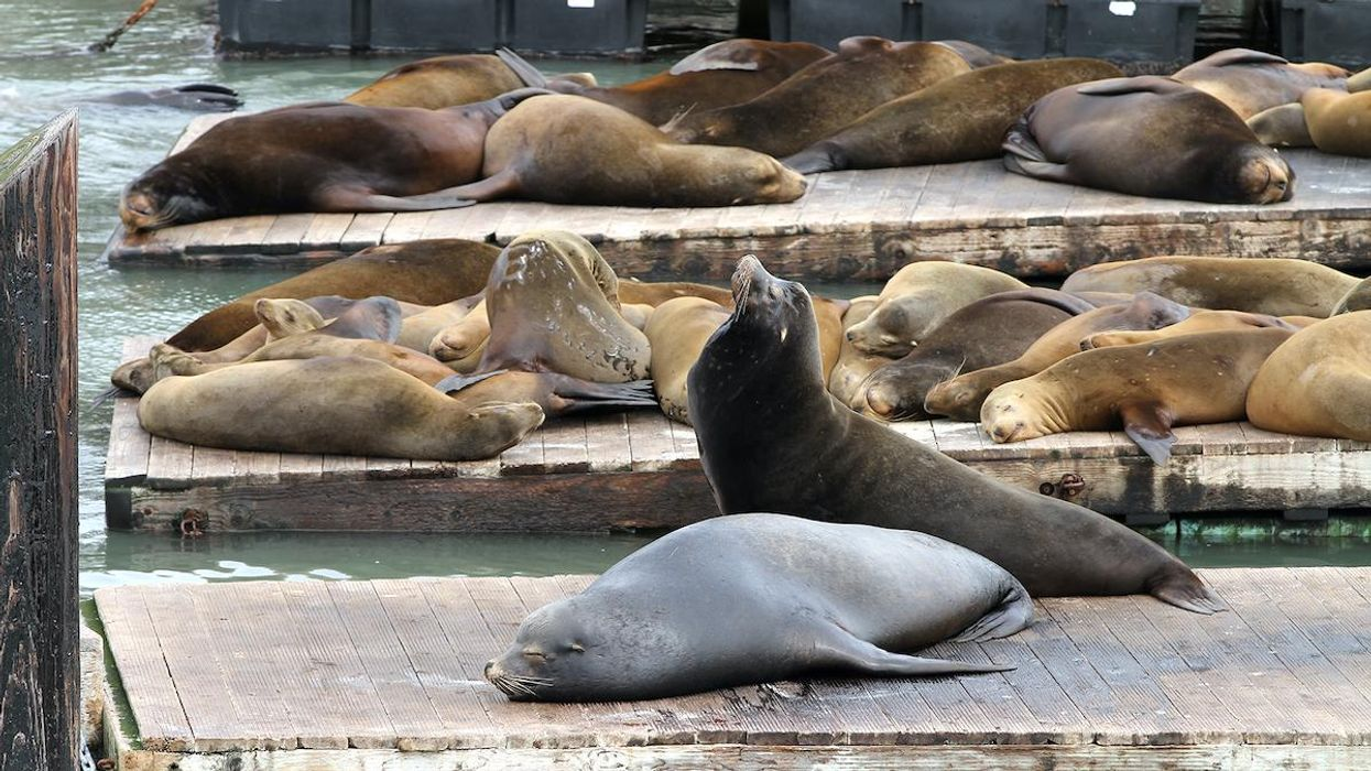 Chemical Dumping Linked to California Sea Lions' High Cancer Rates