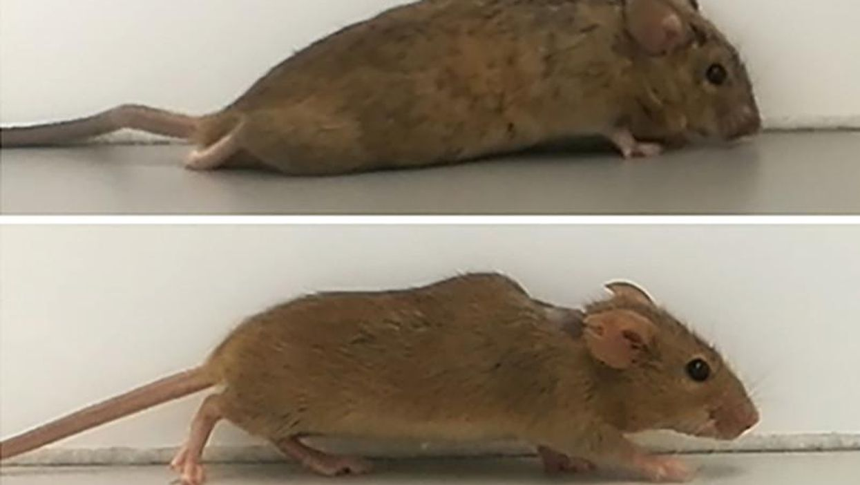 Spinal cord injury breakthrough makes paralyzed mice walk again