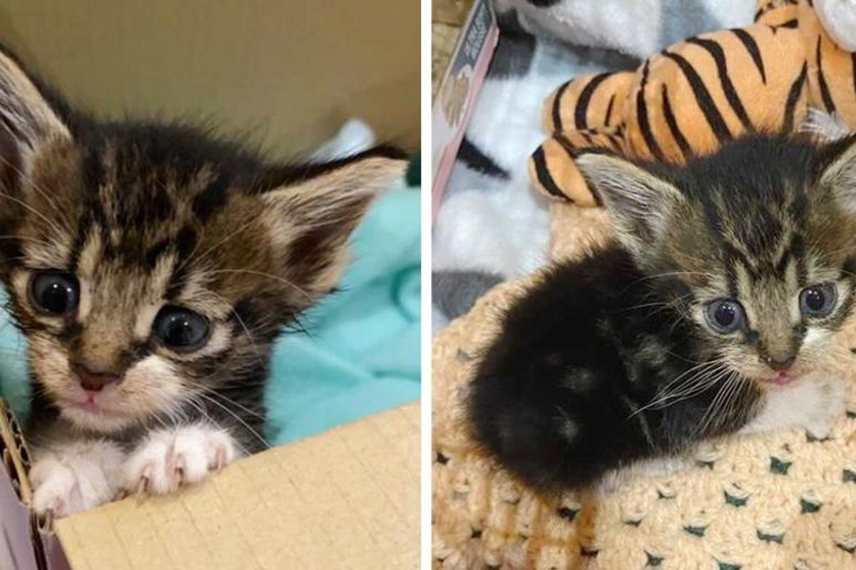 Kitten Found on Side of Road, Blossoms into Sweetest Cat and Has His Dream Come True