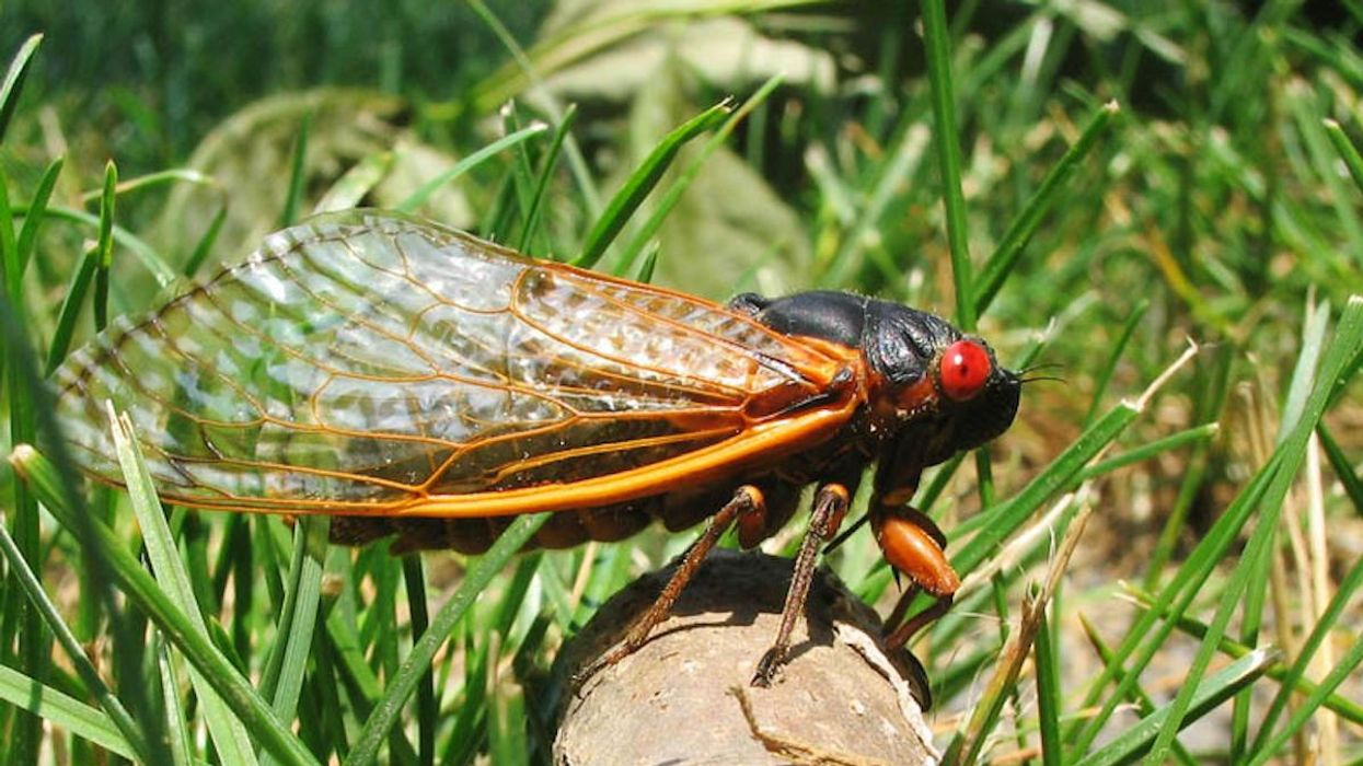 Trillions of Brood X Cicadas to Emerge in 15 States This Spring
