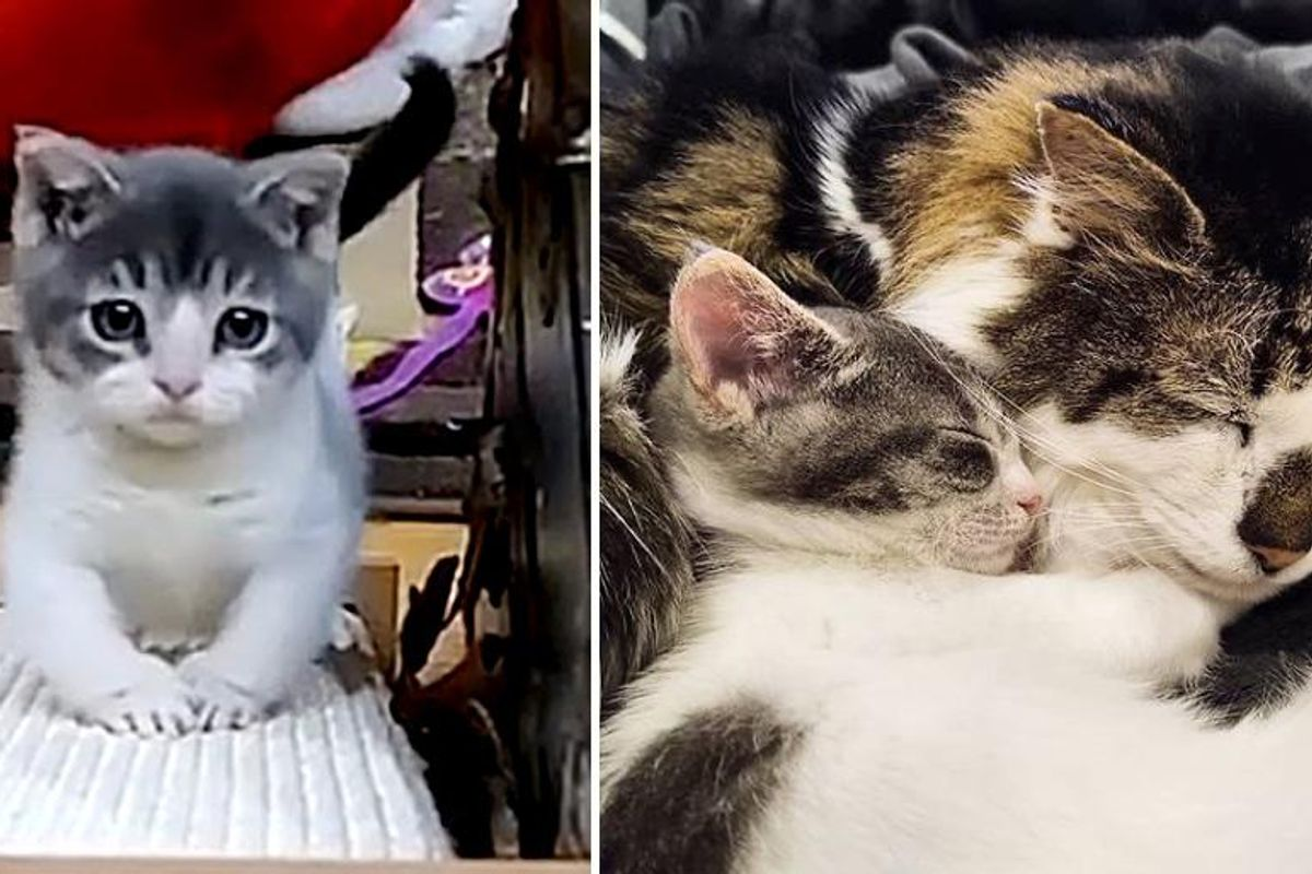 Kitten with Rare Condition Finds Grandpa Cat to Lean on After Being Brought Back from the Brink