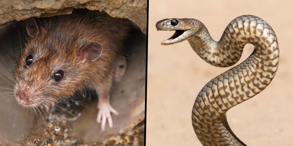 Zoo Will Name a Rat After Your Ex and Feed It to a Snake on Valentine's Day