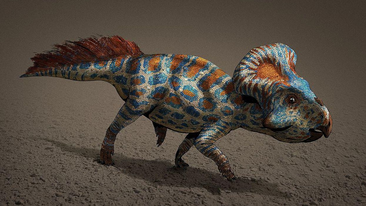 Ornamental dinosaur frills seem to have evolved thanks to sexual selection