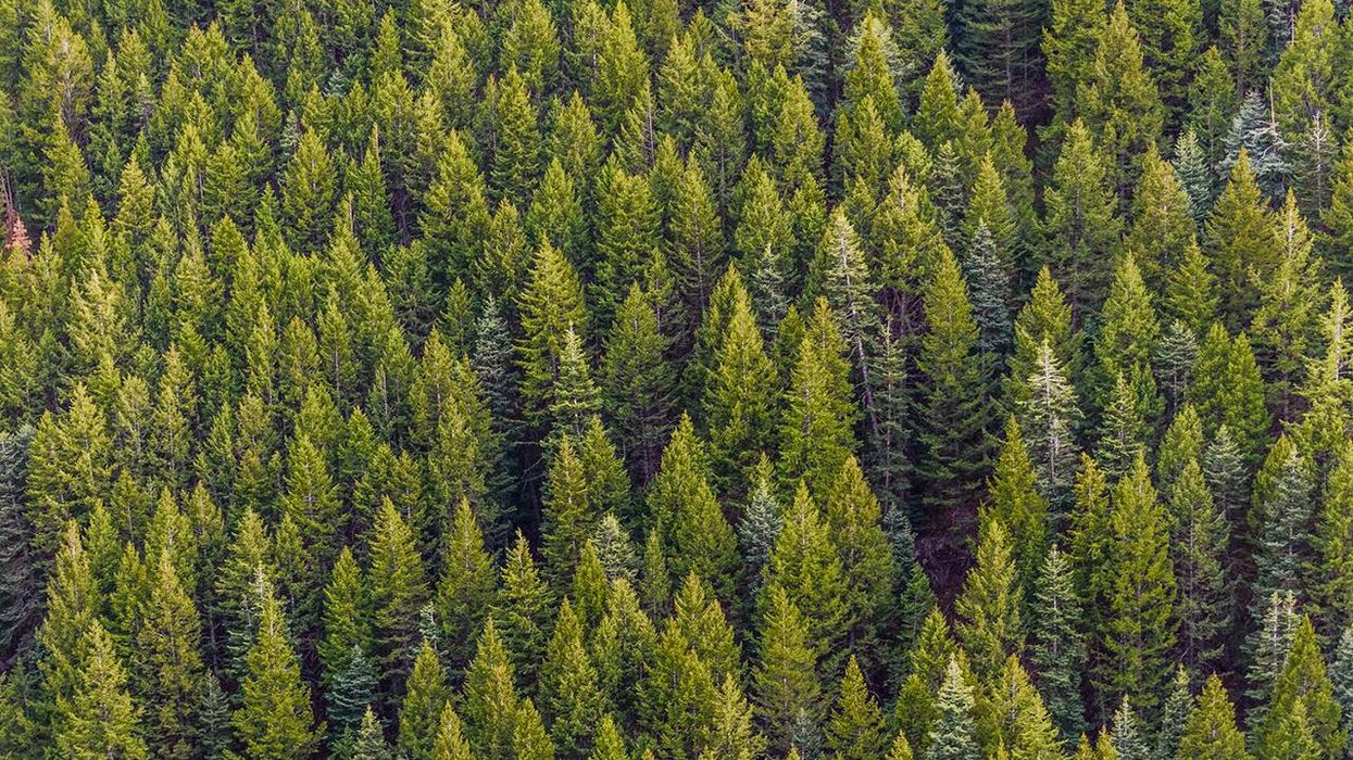 Are Forests Carbon Sinks or Carbon Sources?