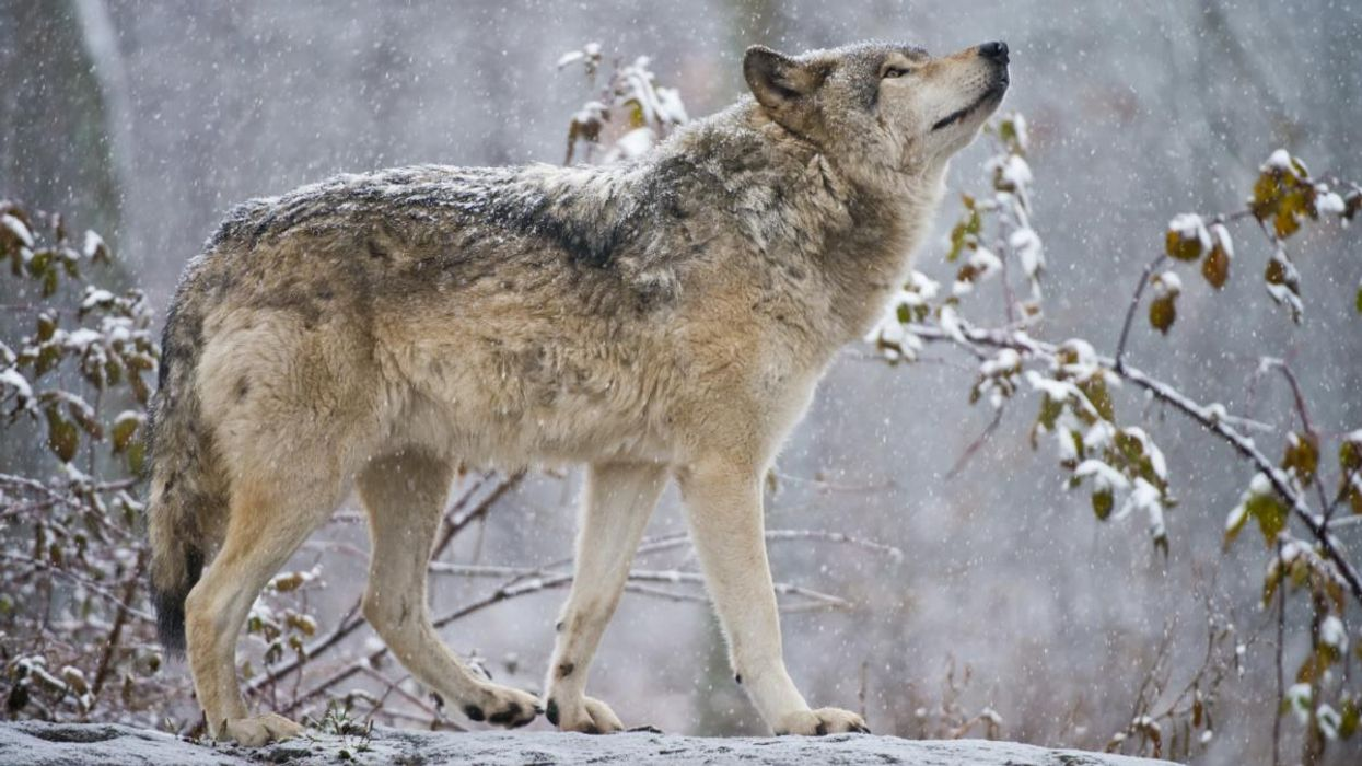 Hunting group sues Wisconsin DNR in attempt to allow wolf hunt this winter