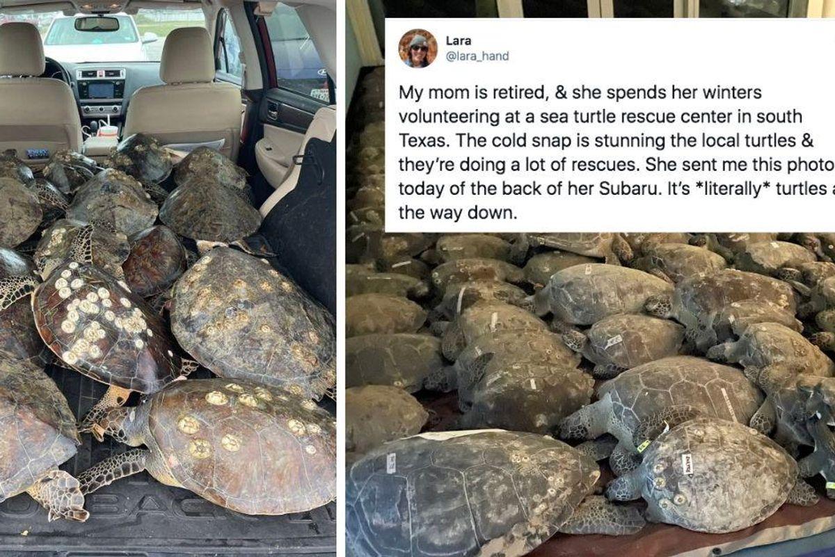 Dedicated volunteers rescue over 4,500 endangered sea turtles from frigid Texas waters