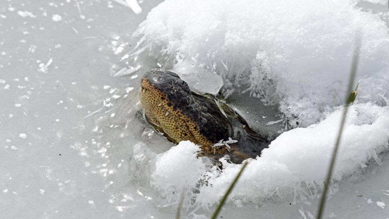 How Alligators Are Surviving Oklahoma's Cold Snap