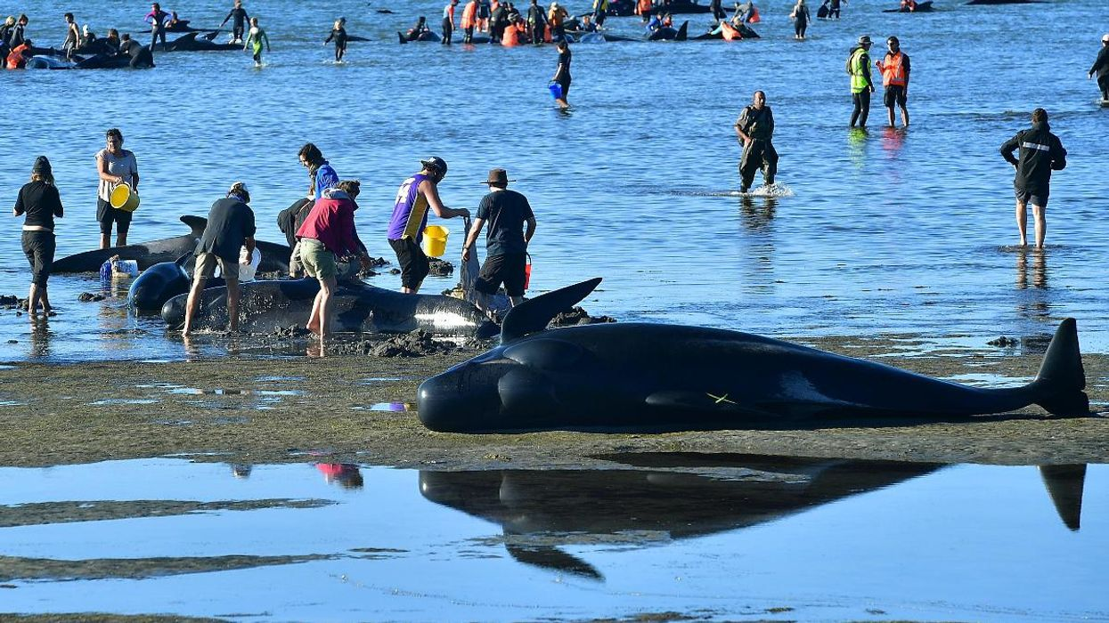 Volunteers Form Human Chain in Tireless Effort to Save Beached Whales in New Zealand