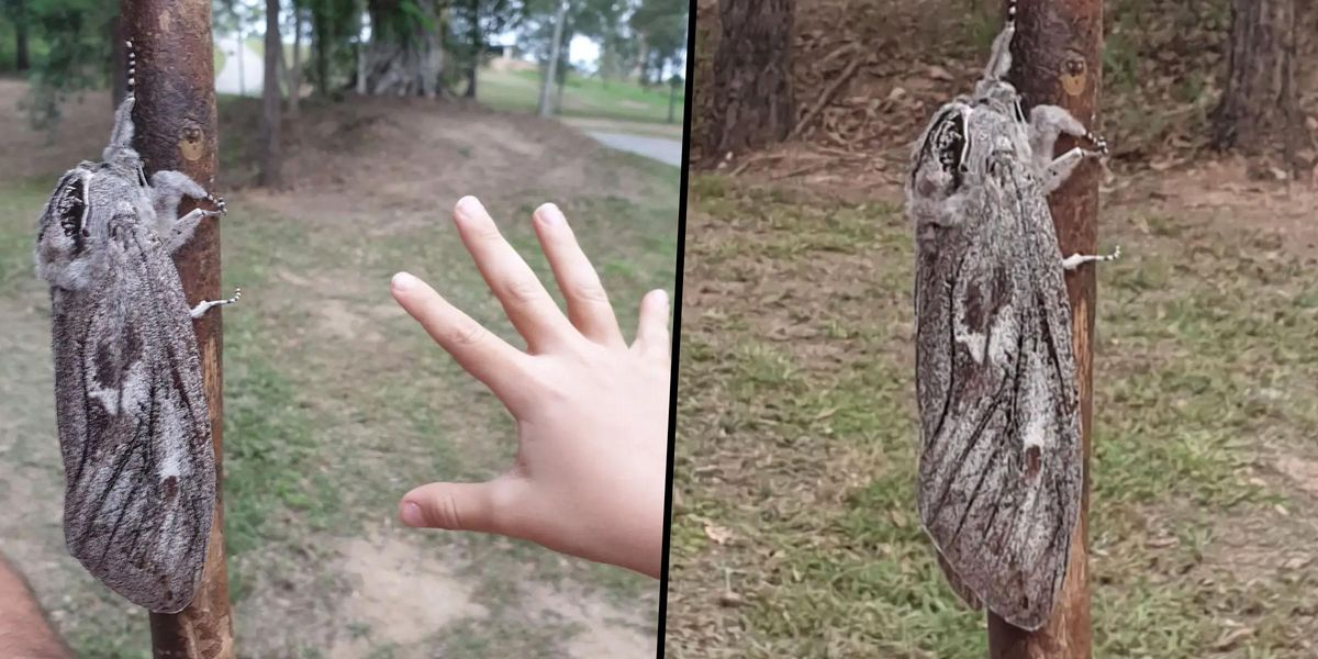 Woman Discovers Moth the Size of a Human Hand and It's Seriously Freaking People Out