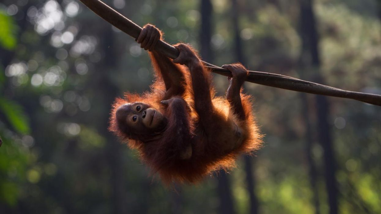 Rescued Orangutans Are Returned to Indonesia Wild Amid COVID-19 Risk