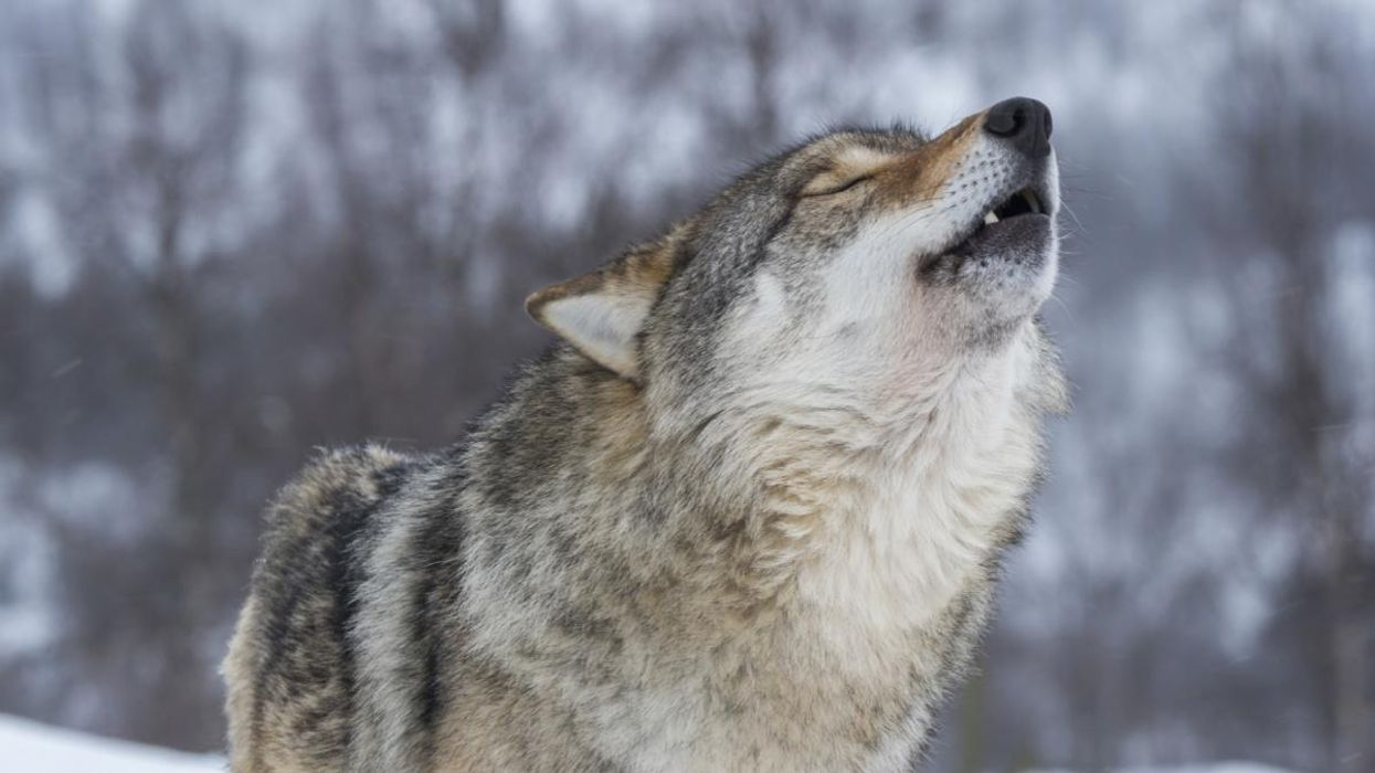 Wisconsin Wolf Hunt Ends Early as Hunters Exceed Quota