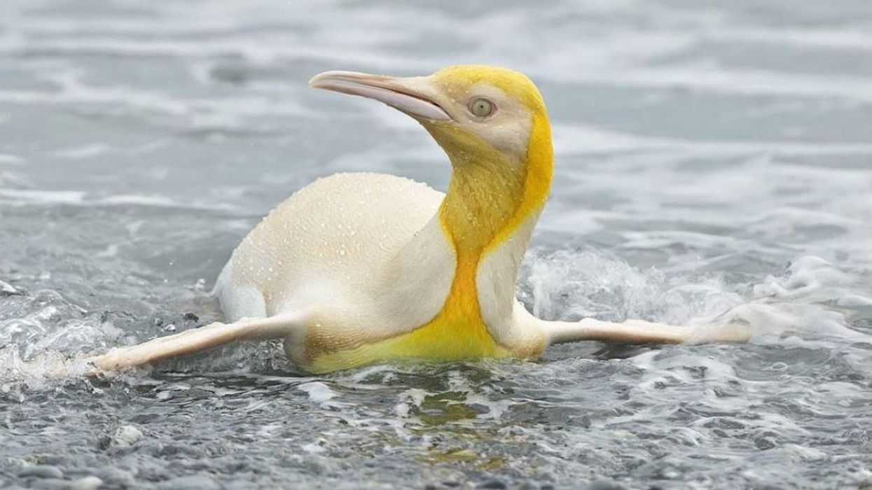 Rare Yellow Penguin Photographed for First Time