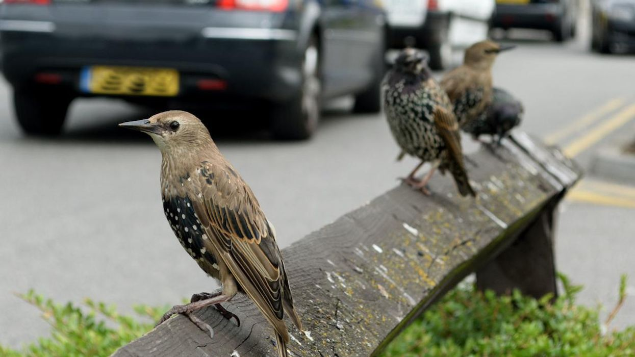 Traffic Sounds Make It Harder for Birds to Think, Scientists Find