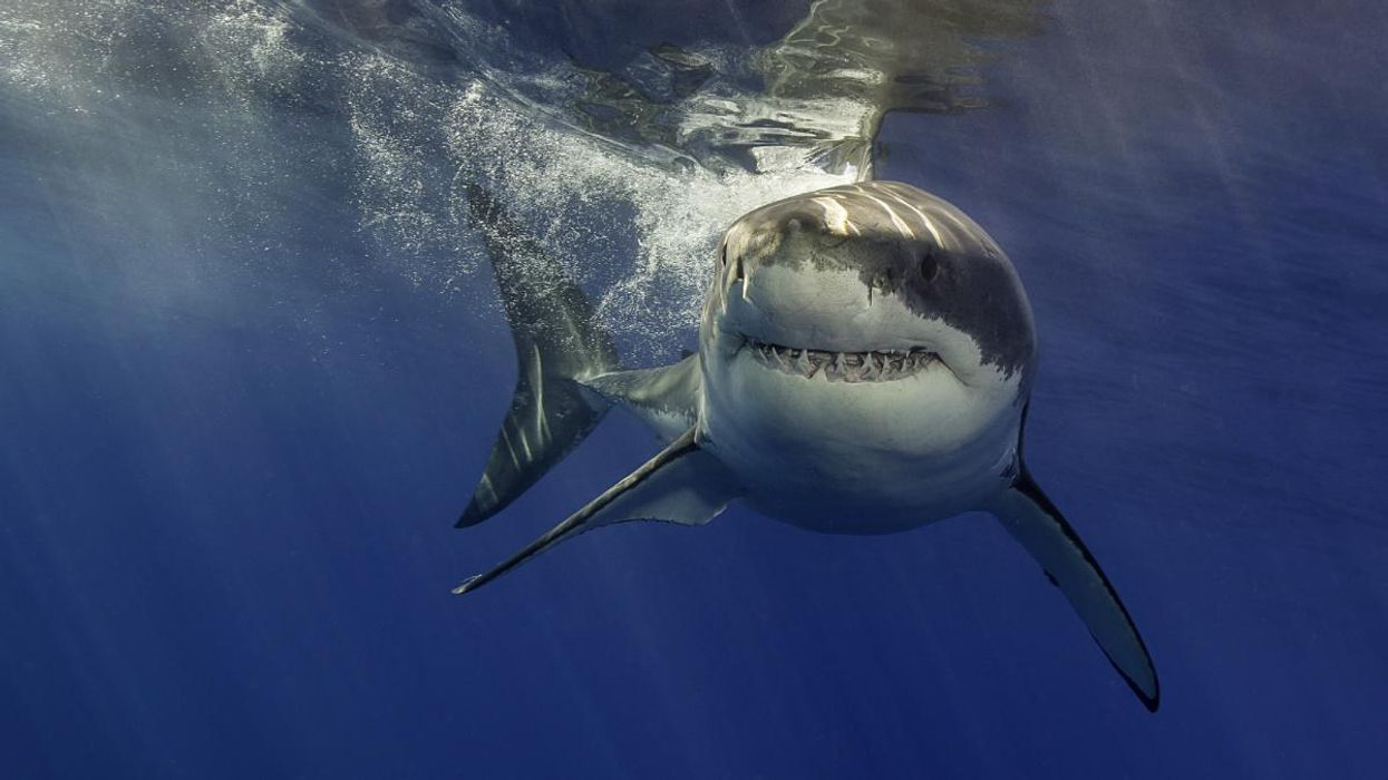 Climate Crisis Is Pushing California's Great White Sharks North