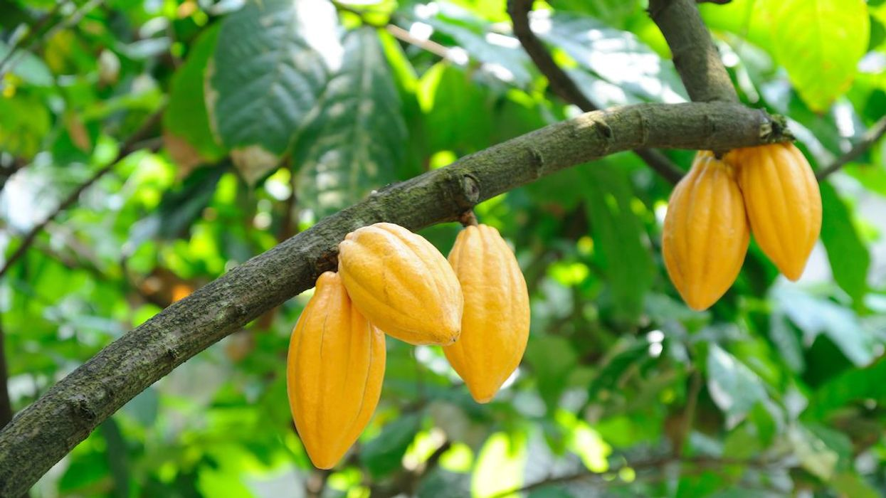 Tiny Cacao Flowers and Fickle Midges Are Part of a Pollination Puzzle That Limits Chocolate Production