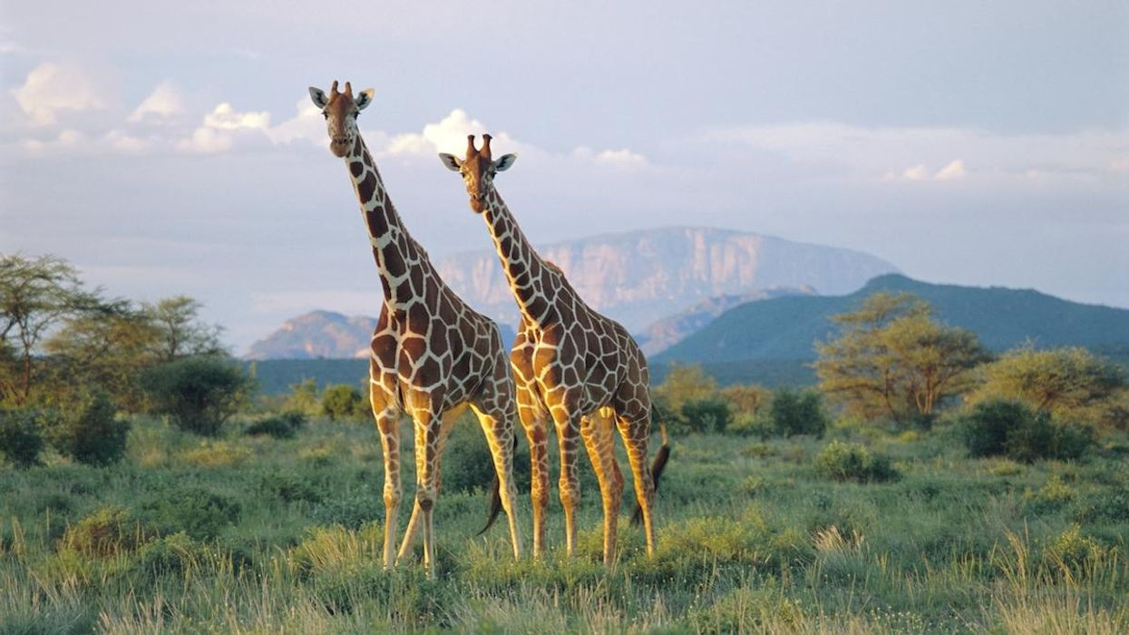 Female Giraffes With Friends Live Longer, Study Finds
