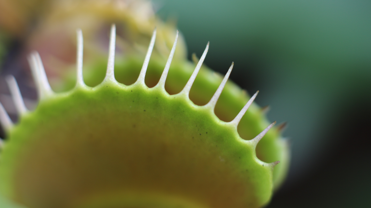 Venus flytrap jaws create tiny magnetic fields when they snap shut