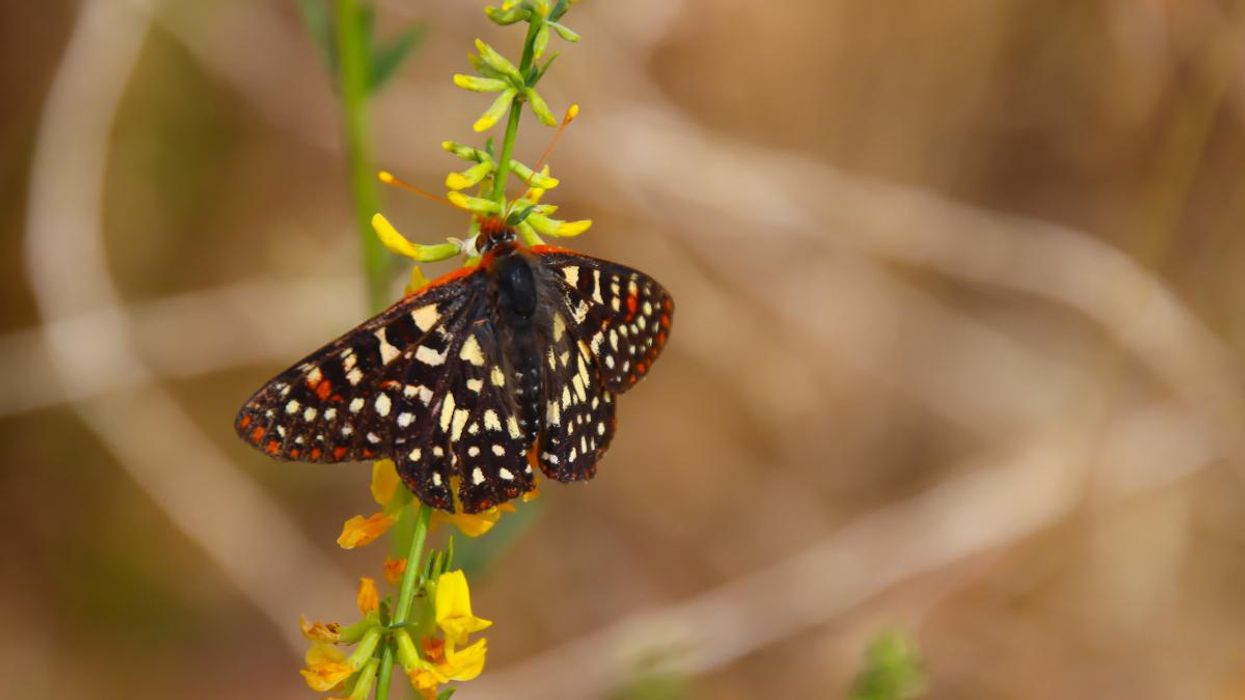 Western Butterflies Disappearing Due to Warmer Fall Seasons