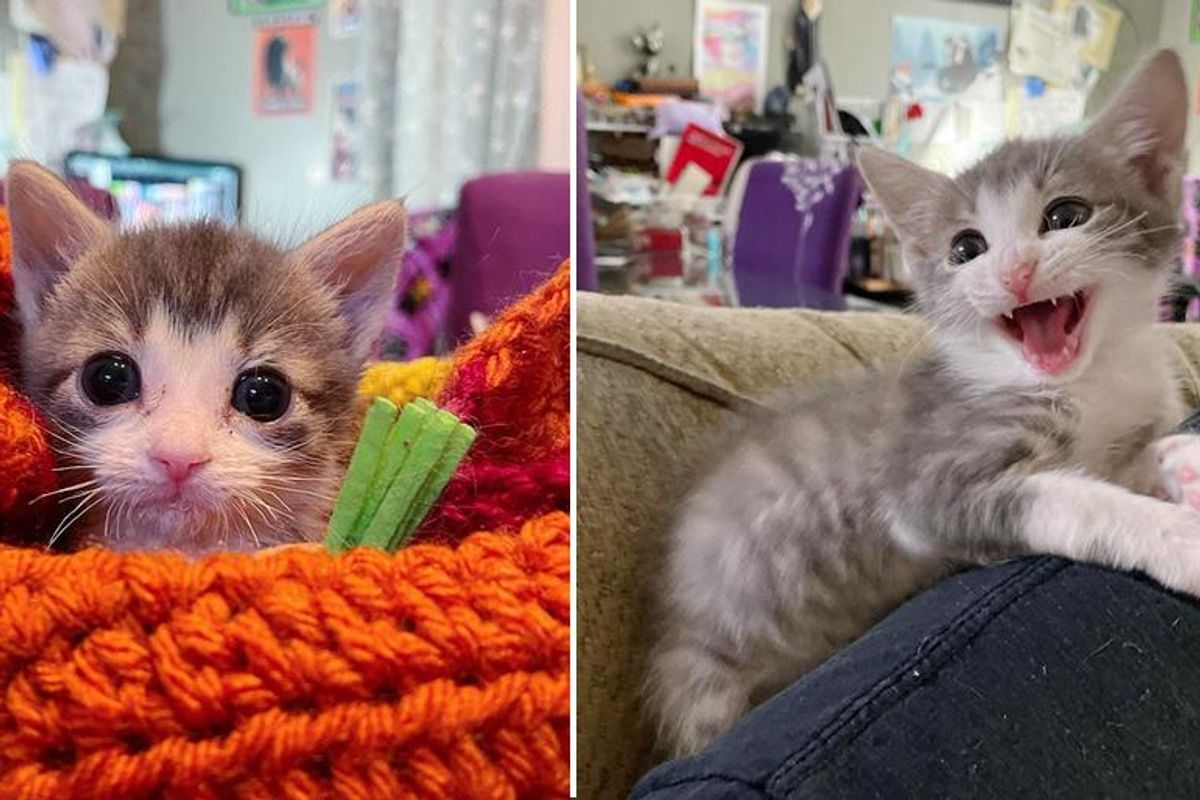 Wobbly Kitten with Determined Effort Gets Back on His Paws and Walks Again
