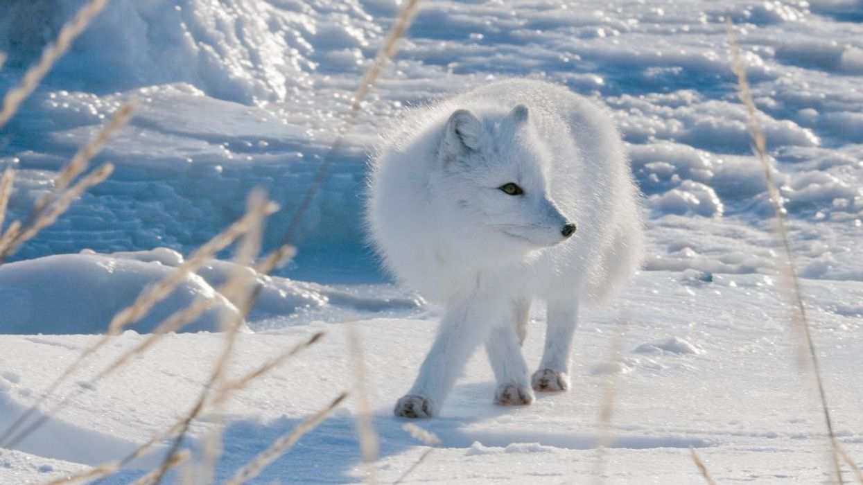 How Do Arctic Foxes Hunt in the Snow?