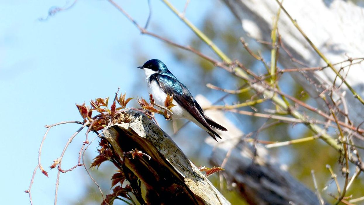 Climate Change Cues Tree Swallows to Nest Too Early in the Spring