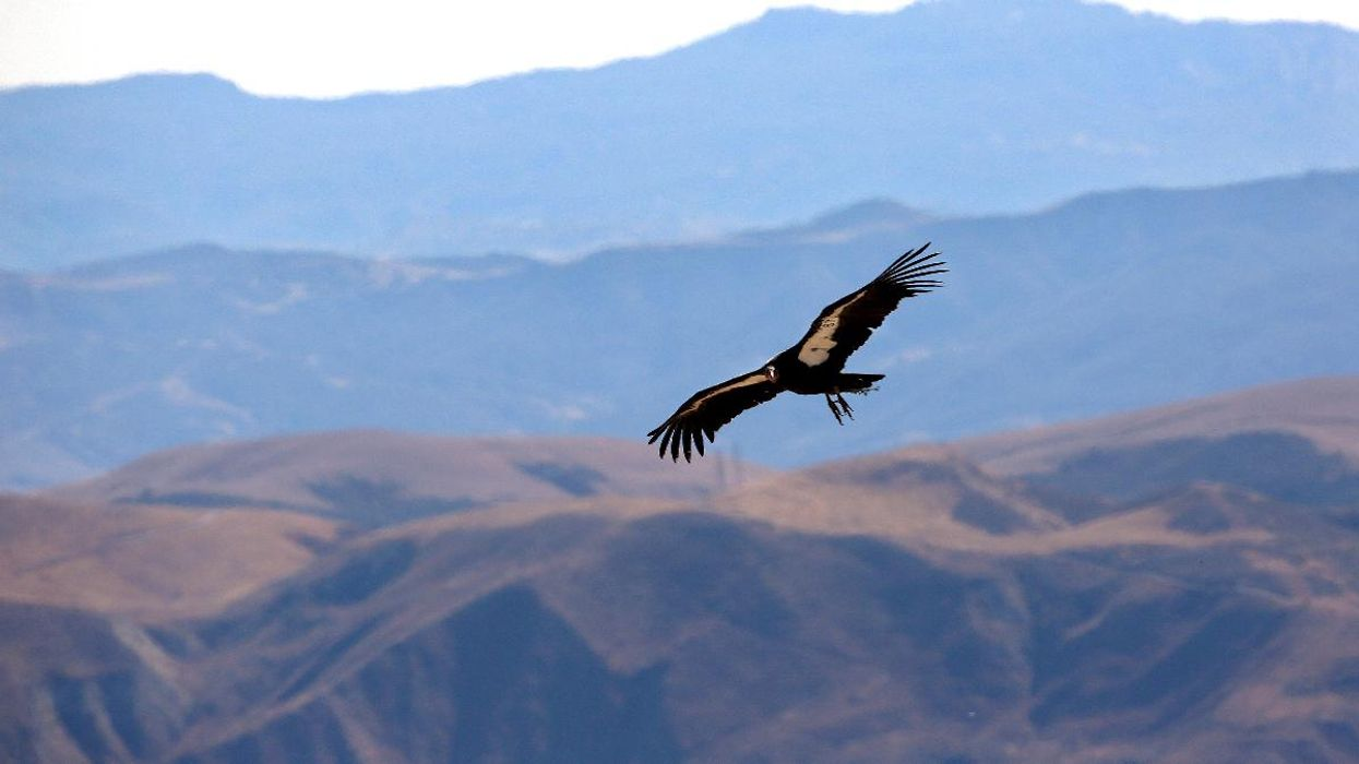 Wind Power Company Announces Plan to Breed Condors