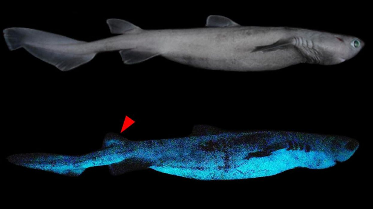 Scientists Photograph Largest Glow-in-the-Dark Shark for First Time