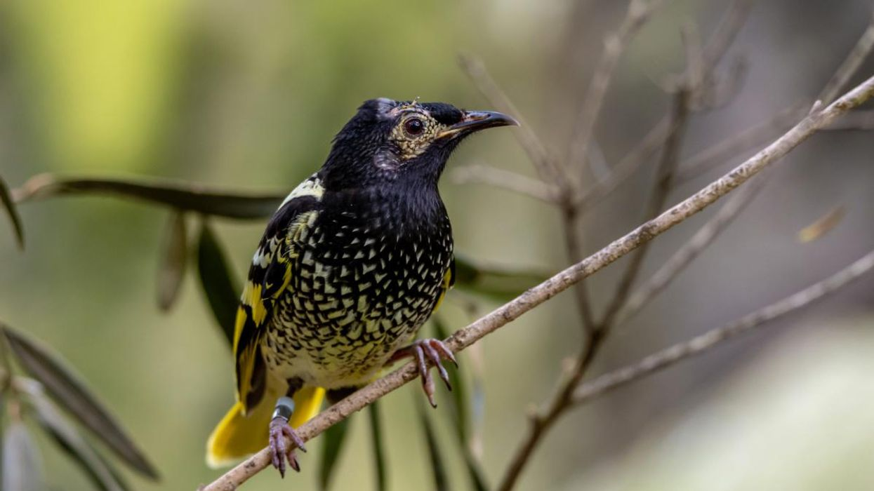 This Endangered Australian Bird Species Is Forgetting Its Song