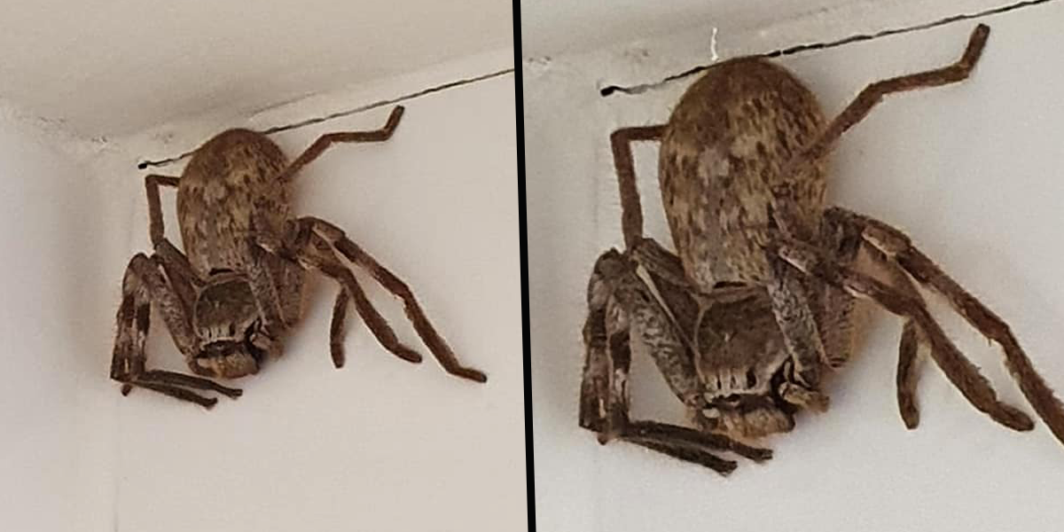 Giant Huntsman Spider Terrifies Woman After She Finds It in Her Shower