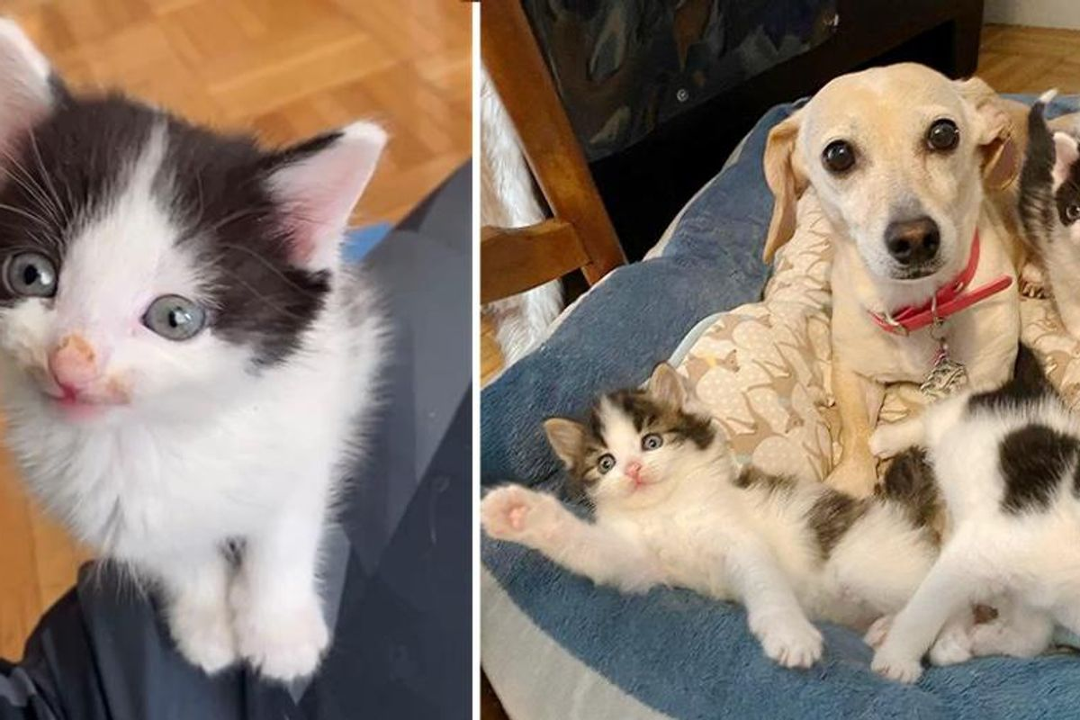 Woman Brings Home Kittens Found in Backyard, Her Dog Takes Them Under Her Wing Especially the Runt of Litter