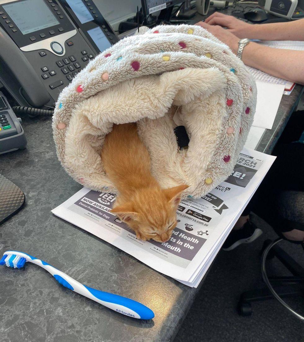 Mufasa kitten, sleepy kitten