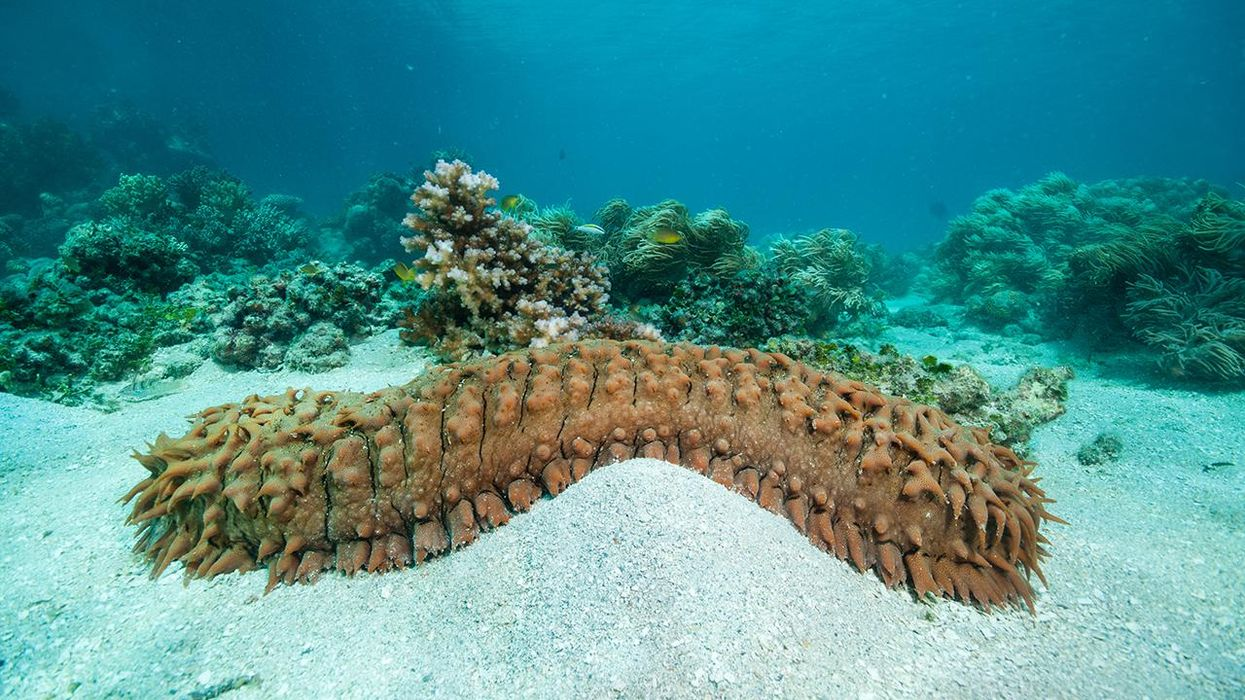 Sea Cucumbers: The Excremental Heroes of Coral Reef Ecosystems