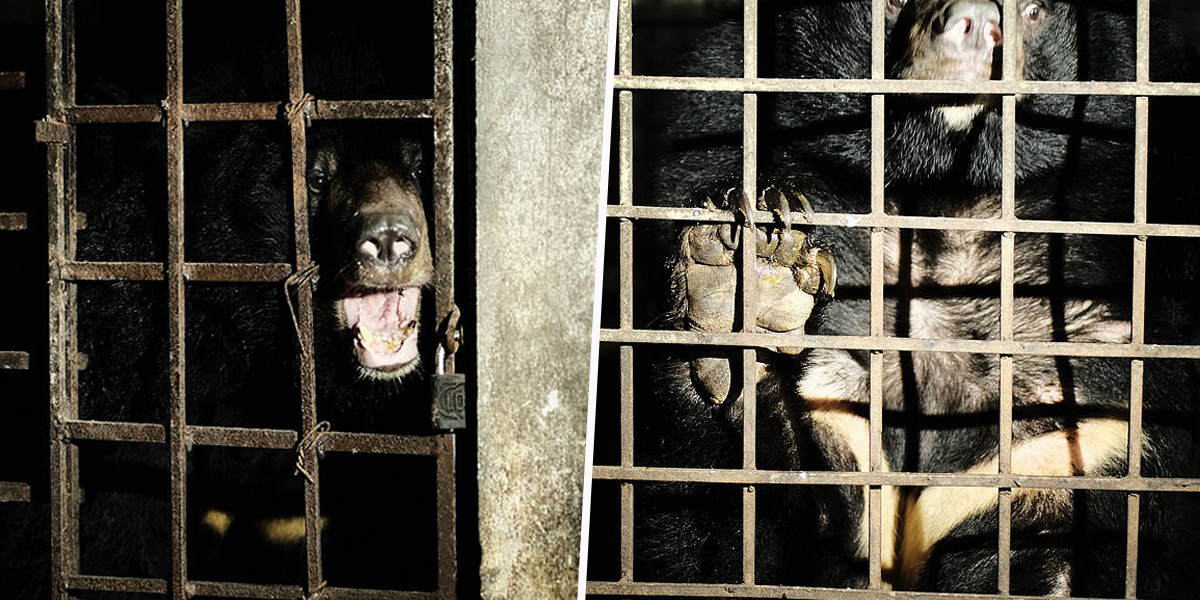 Two Bears Kept in Complete Darkness for 17 Years Rescued From Illegal Farm in Vietnam