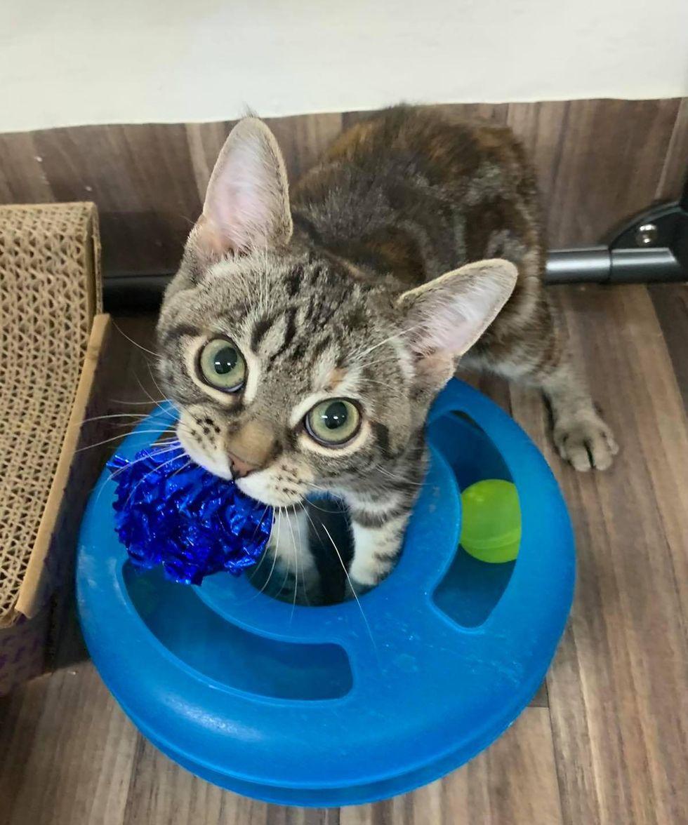 big eyes, torbie cat, huxley, manx kitten