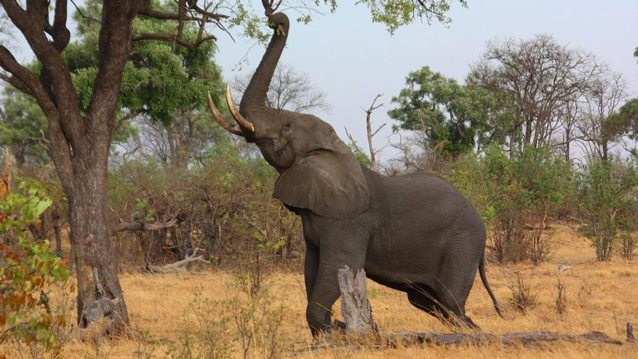 Africa's Elephants Are Two Different Species, and Both Are Endangered