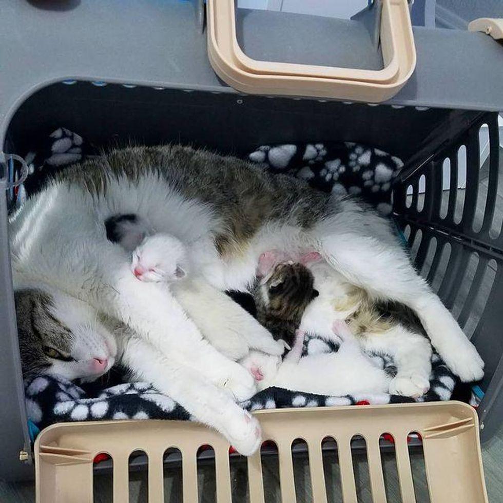 cat mom, babies, kittens, nursing