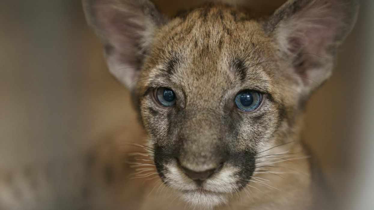 Behind the Lens of National Geographic's New Feature on the Florida Panther